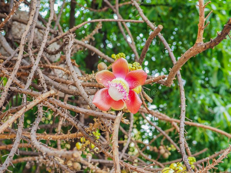 Beautiful focus flower of cannonball tree in the park royalty free stock photography