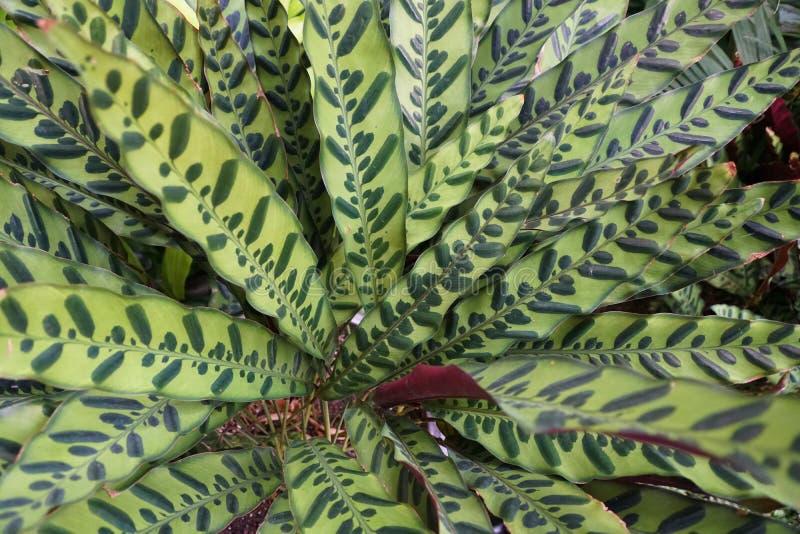 Beautiful foliage color of Calathea Rattlesnake plants. The beautiful foliage color of Calathea Rattlesnake plants stock image