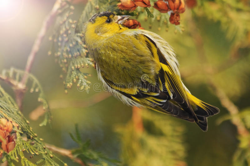 Beautiful forest bird sits on a fir with sunny hotspot. Forest birds, birds in forest birds on fir ,winter,snow,Eurasian siskin royalty free stock photo