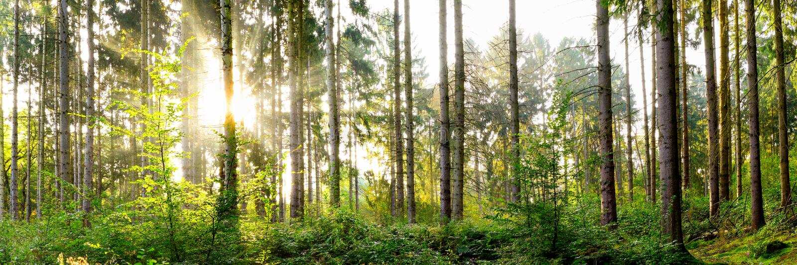 Beautiful forest with bright sun. Beautiful forest panorama with bright sun shining through the trees royalty free stock photos