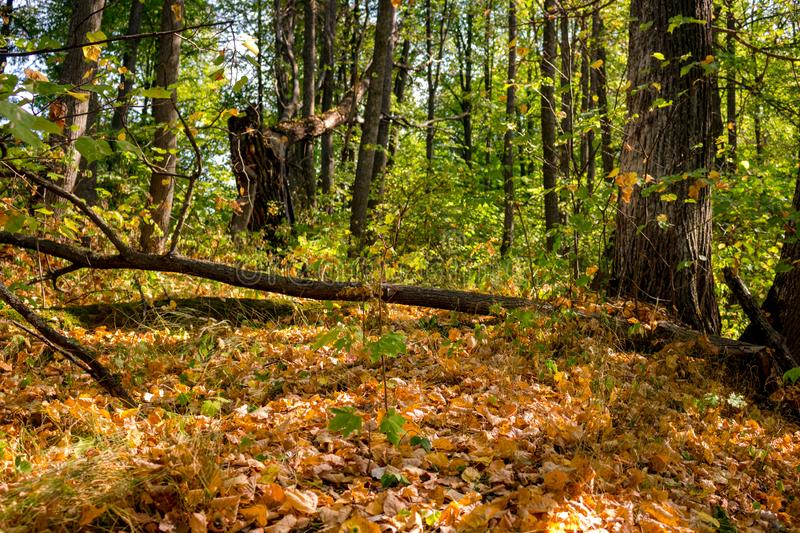 Beautiful forest in early autumn royalty free stock images