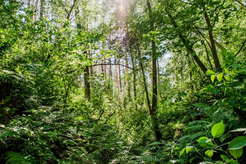 Beautiful forest landscape with green ferns, trees and bushes stock images
