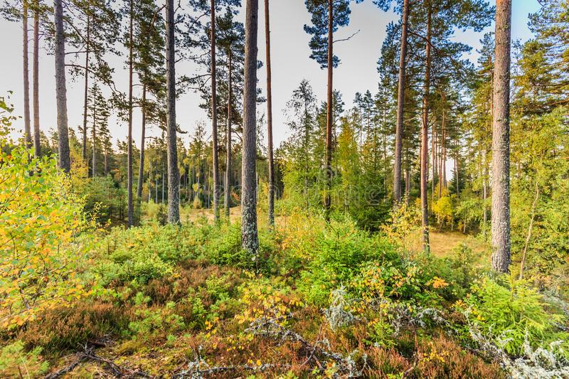 Beautiful forest in mountain area in Sweden in autumn colors with beautiful soil vegetation. Of blueberry bushes and small shrubs among the tall conifers in the royalty free stock images