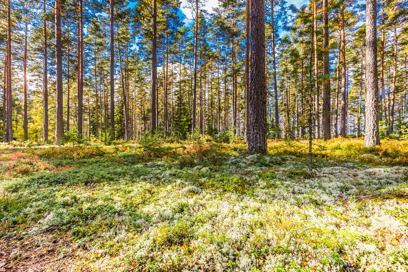 Beautiful forest in mountain area in Sweden in autumn colors with beautiful soil vegetation. Of blueberry bushes and small shrubs among the tall conifers in the royalty free stock photos
