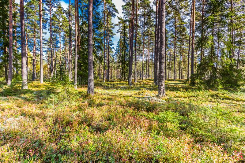 Beautiful forest in mountain area in Sweden in autumn colors with beautiful soil vegetation. Of blueberry bushes and small shrubs among the tall conifers in the royalty free stock image