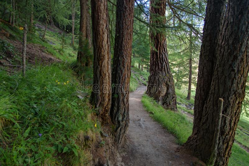 A beautiful forest path. Through a pine forest, italian alps, nature wallpaper stock photos
