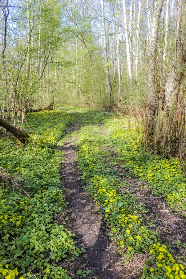 Beautiful forest road in yellow flowers royalty free stock photo