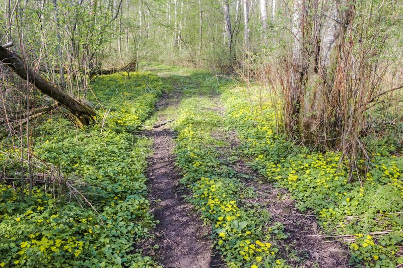 Beautiful forest road in yellow flowers stock photography