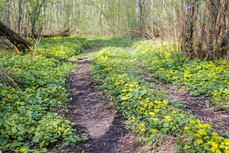 Beautiful forest road in yellow flowers royalty free stock images