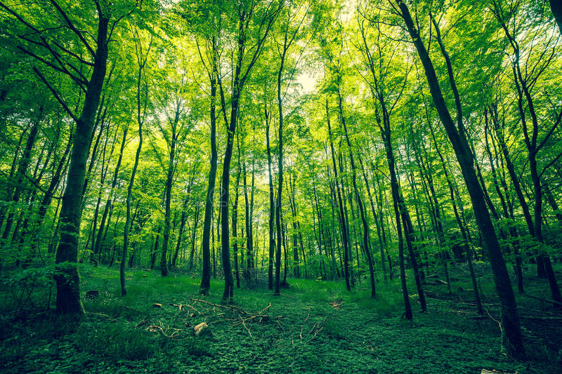 Beautiful forest in the spring. With green trees royalty free stock photos