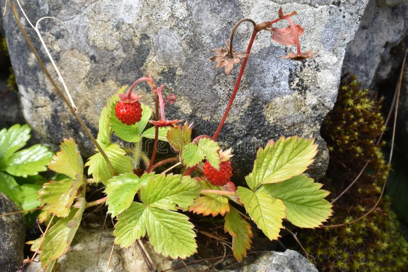 The beautiful forest strawberries growing between the stones stock photos