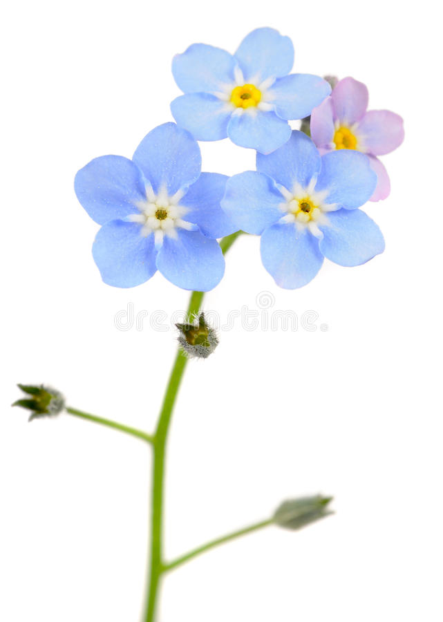 Free Beautiful Forget-me-not (Myosotis) Flowers Stock Images - 25169324