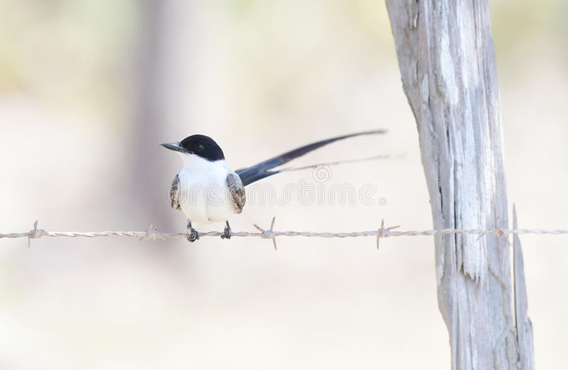 Fork-tailed Flycatcher royalty free stock photo