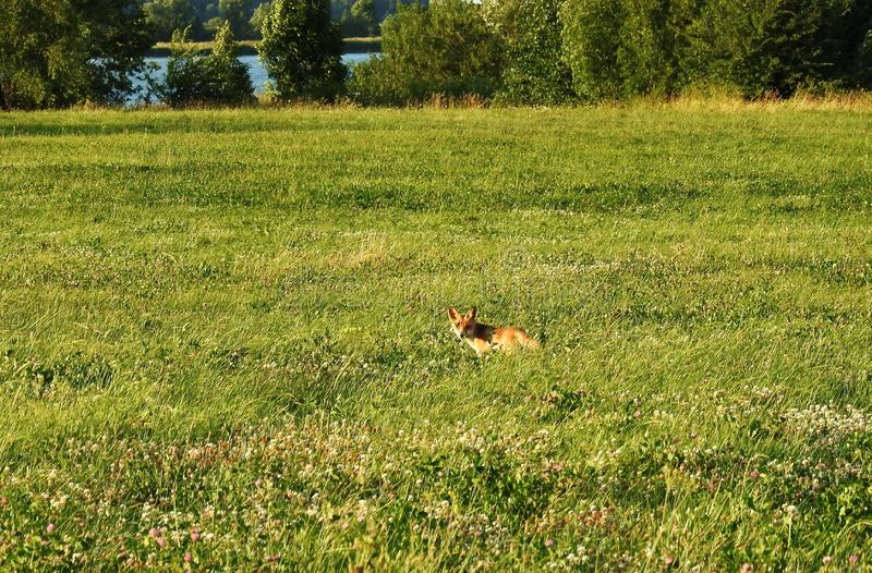 Beautiful fox in field, Lithuania stock photography