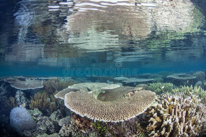 Beautiful and Fragile Corals in Raja Ampat. Fragile yet healthy corals grow on a shallow coral reef in Raja Ampat, Indonesia. This part of the world is known for stock photography