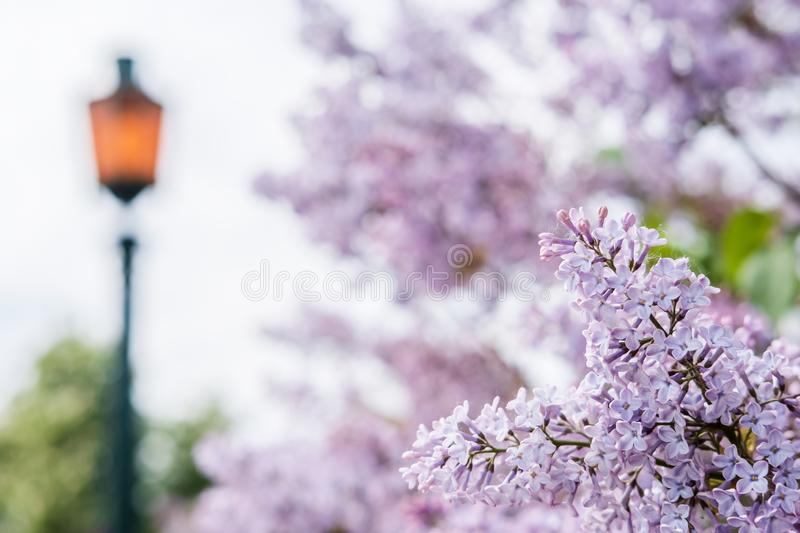 Beautiful, fragrant blooming common lilac Syringa vulgaris, against the blurred background of a stylish lantern and greenery in. A city park, on a spring day stock photo