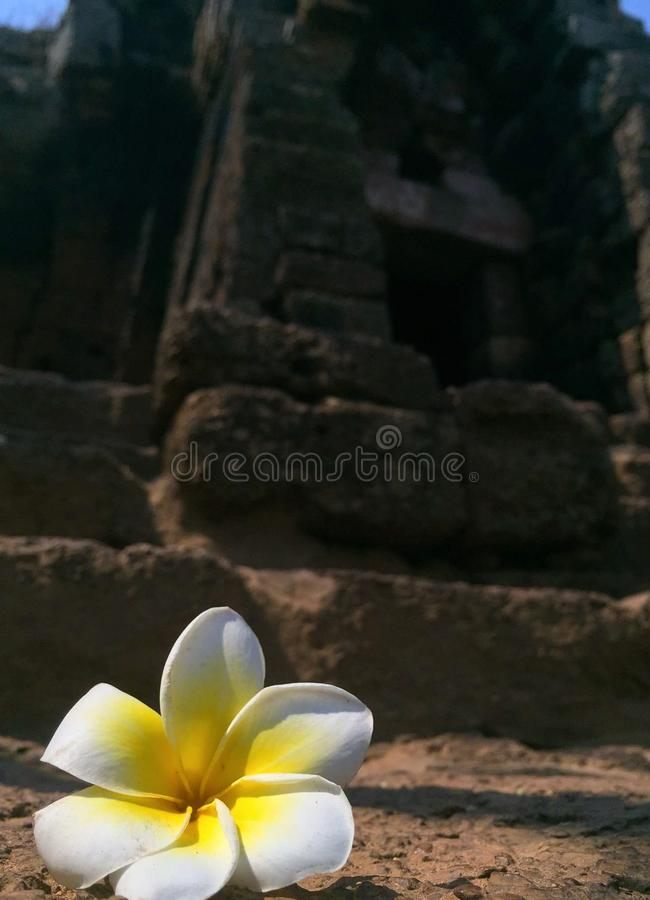 Beautiful Frangipani flower in front Sanctuary Pagoda Prasat Banan temple Battambang, Cambodia, Southeast Asia royalty free stock photos