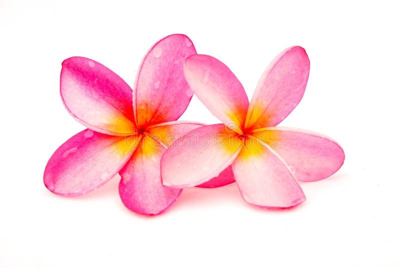 beautiful frangipani plumeria royaltyfria foton