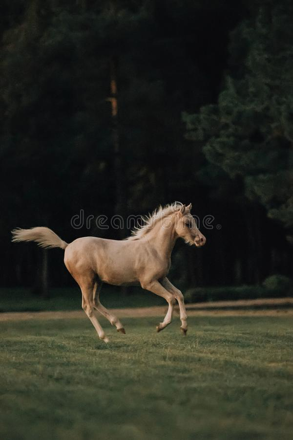 Beautiful free foal horse trotting at the field. trees on background stock photography