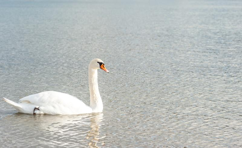 Beautiful free graceful wild white mute swan bird swimming in the water in the nature feeling calm. Swan swimming. Beautiful free graceful wild white mute swan royalty free stock photos