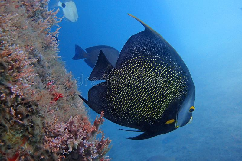 Beautiful French Angelfish Swimming in the ocean royalty free stock photo