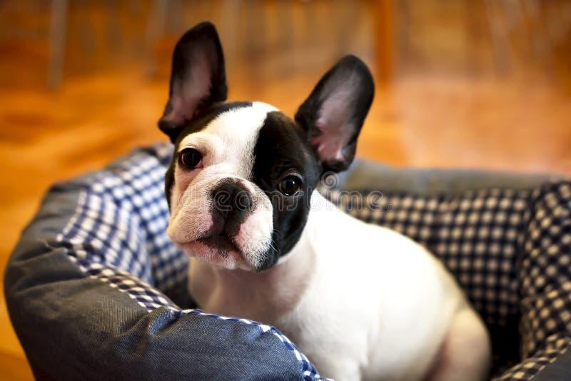 Beautiful french bulldog dog royalty free stock image