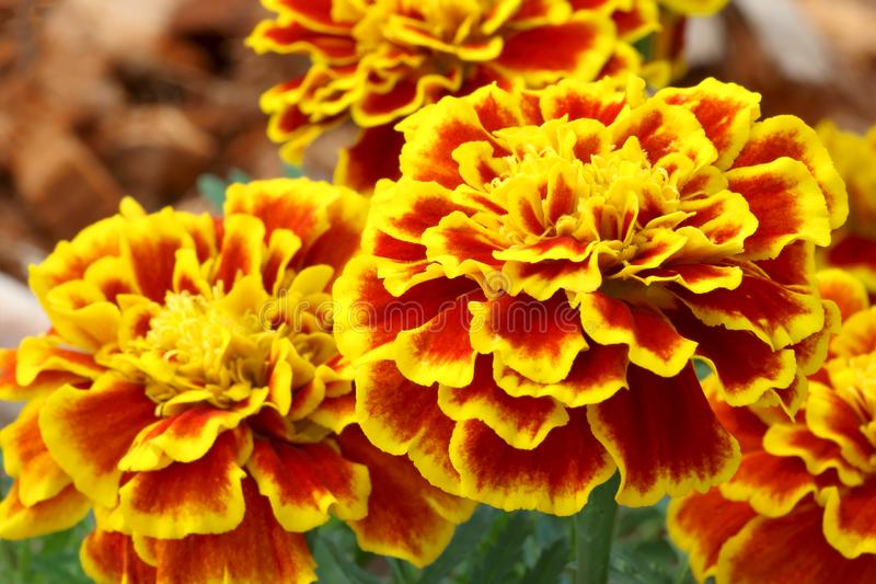 Beautiful french marigold flowers are blooming royalty free stock photo