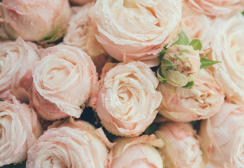Beautiful fresh beige roses background royalty free stock images