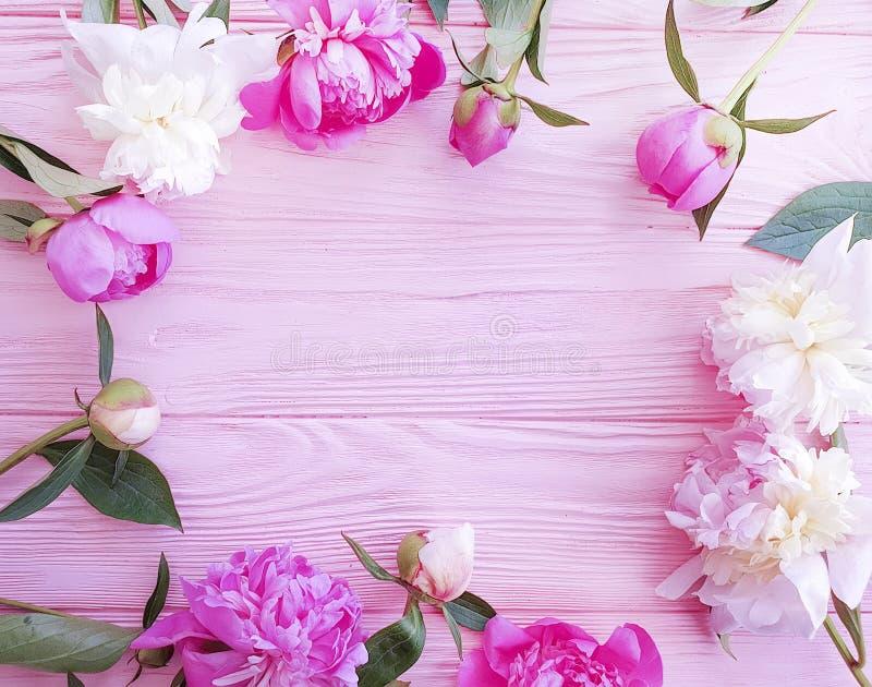 Beautiful fresh blossom holiday celebration design elegant flower peony on pink wooden background. Beautiful fresh flower peony bouquet pink wooden background stock image