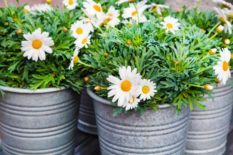 Beautiful Fresh Daisies In Bucket For Flower Decoration ...