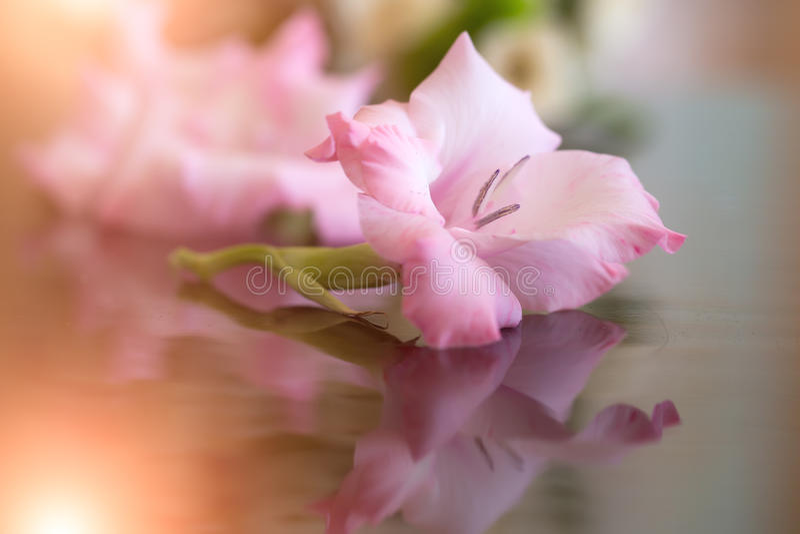Beautiful fresh gladiolus flower royalty free stock photography