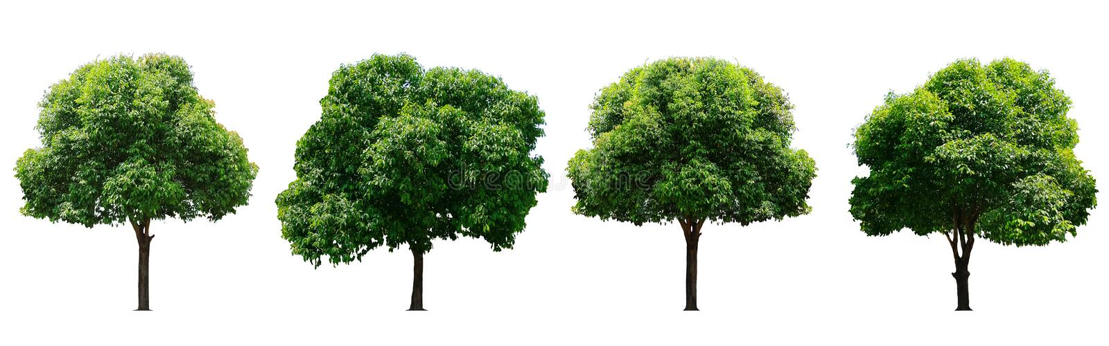 Beautiful fresh green deciduous tree isolated on pure white background for graphic, The collection of trees. stock image