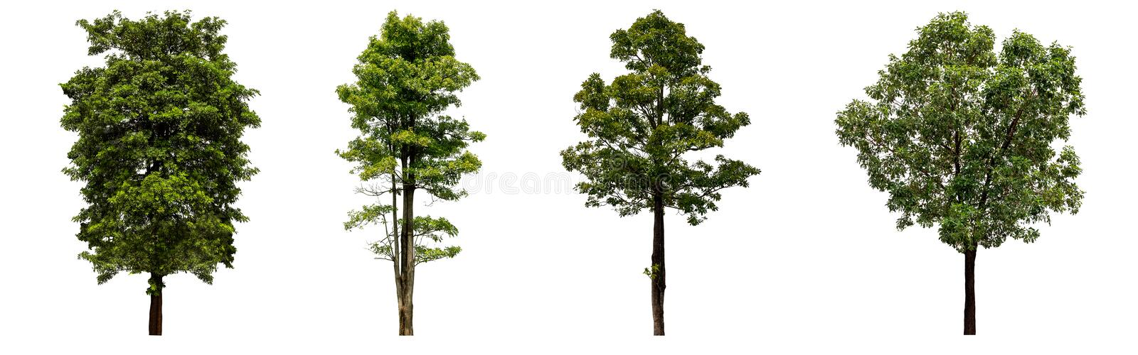 Beautiful fresh green deciduous tree isolated on pure white background for graphic, The collection of trees. With clipping path royalty free stock photography