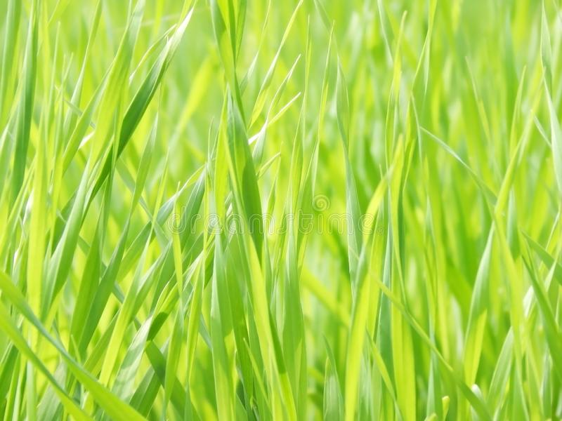 A beautiful fresh green grass of the barley stock image