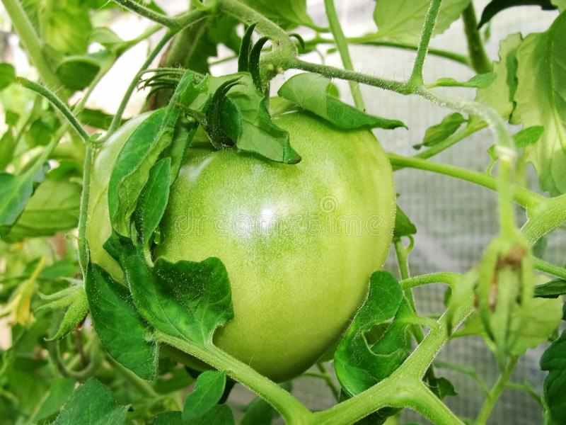 Green not ripe tomato fruit grows on a branch of a garden plant in a garden greenhouse among green leaves. stock image