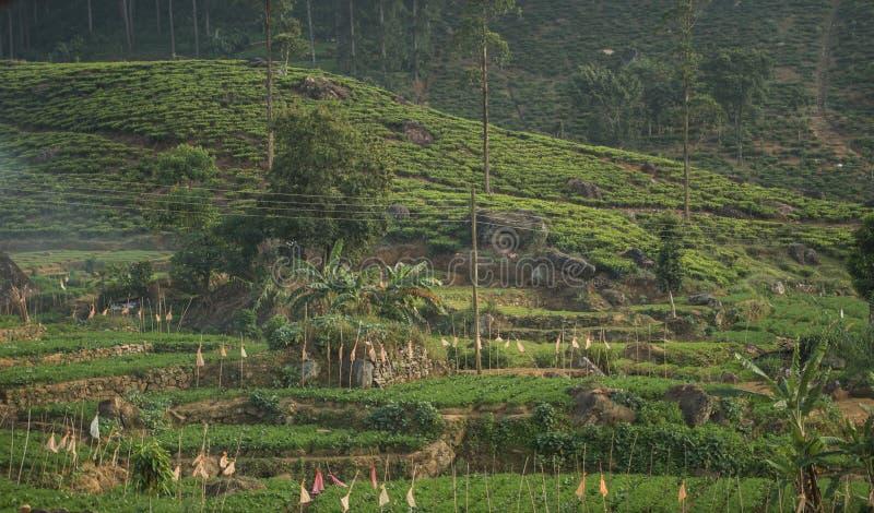 Beautiful fresh green tea plantation in sri lanka stock image