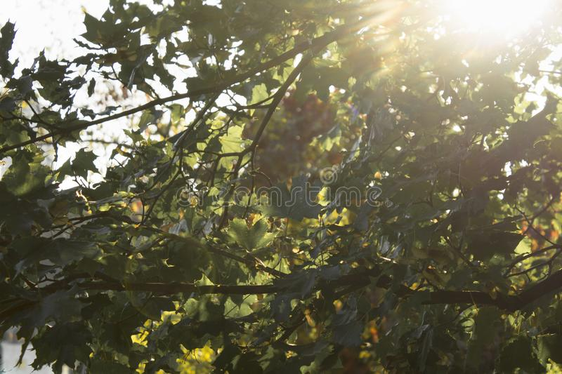 Beautiful fresh greenery tree leaves against sunlights abstract background stock photos