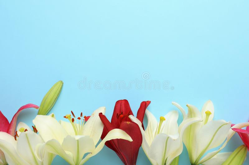 Beautiful fresh lily flowers on blue background. Space for text. Beautiful fresh lily flowers on blue background, flat lay. Space for text royalty free stock images