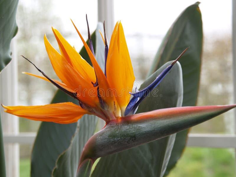 Strelitzia blossom closeup royalty free stock images