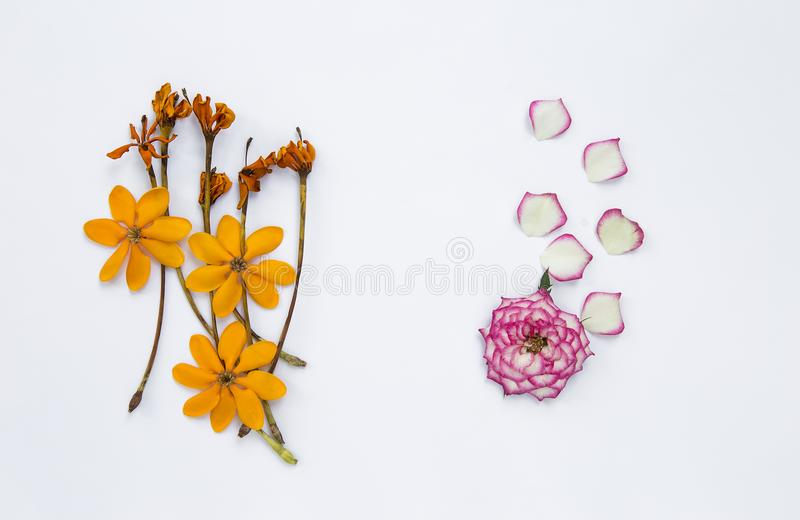 Beautiful fresh pink rose and yellow flower on white background royalty free stock image