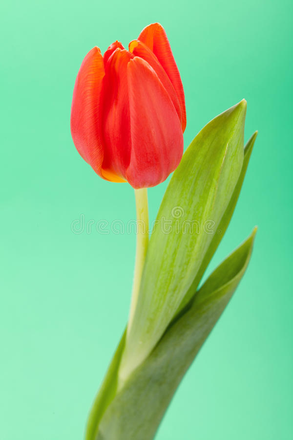 Download Beautiful Fresh Red Tulips For A Loved One Stock Photo - Image of blossom, isolated: 38574180