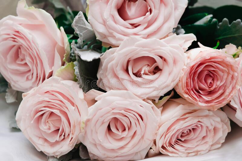 Beautiful fresh rose in garden,petal Blooming rose bud bouquet. Space background stock photo
