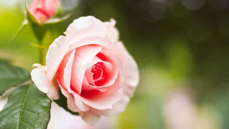 Beautiful fresh rose in garden,petal Blooming rose bud bouquet. Space background royalty free stock image