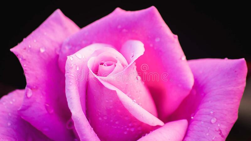 Beautiful fresh rose in garden,petal Blooming rose bud bouquet. Space background stock image