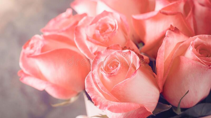 Beautiful fresh rose in garden,petal Blooming rose bud bouquet. Space background royalty free stock photos