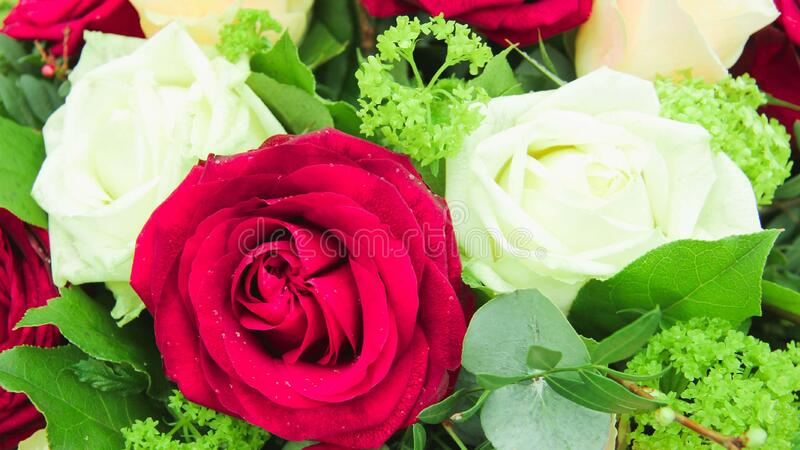 Beautiful fresh rose petal Blooming rose bud bouquet space background. Beautiful fresh rose in garden,petal Blooming rose bud bouquet space background royalty free stock photography