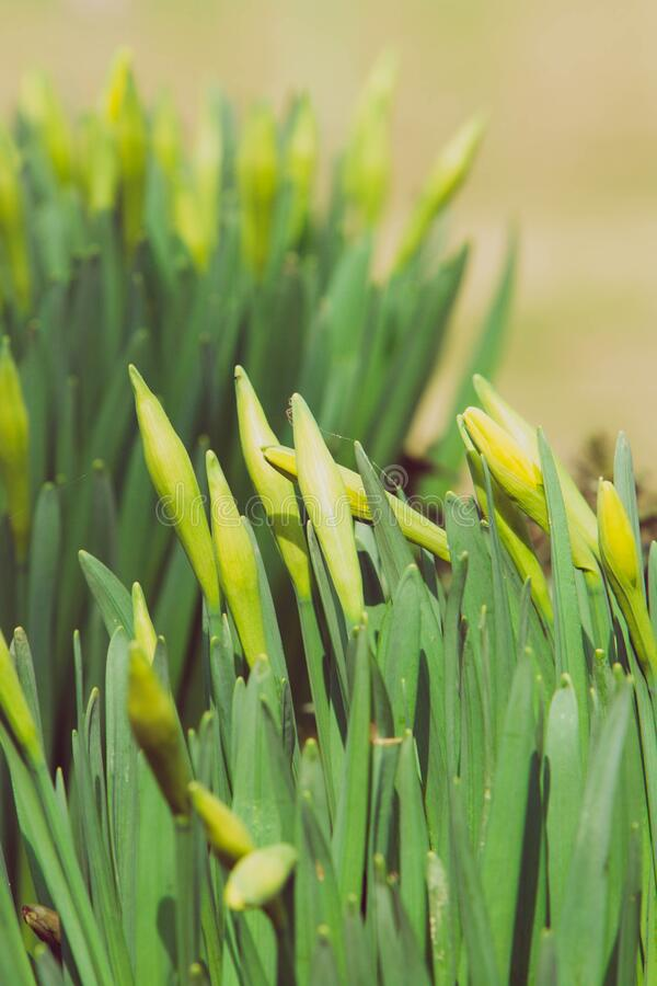 Beautiful fresh spring daffodils in springtime royalty free stock photography