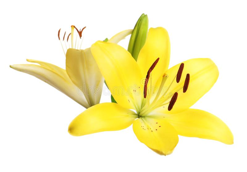 Beautiful fresh yellow lily flowers on white. Background royalty free stock photos