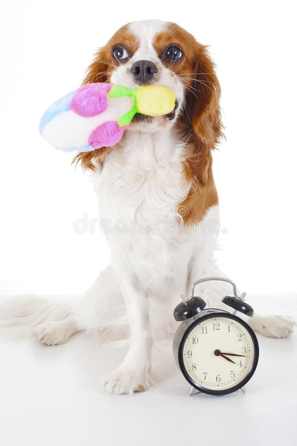 Beautiful friendly cavalier king charles spaniel dog. Purebred canine trained dog puppy. Blenheim spaniel dog puppy play. Time. Cute royalty free stock images