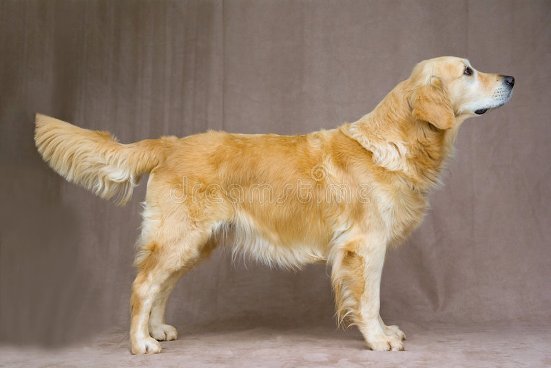 Beautiful friendly Golden Retriever show stand royalty free stock image